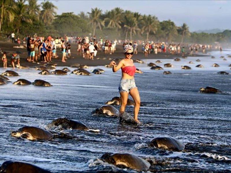 Olive Ridley Sea Turtles