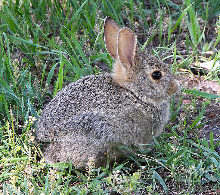 A rabbit in Montana