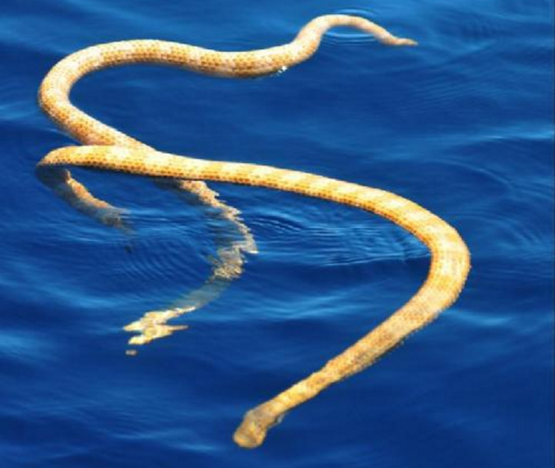 Short-nosed sea snakes