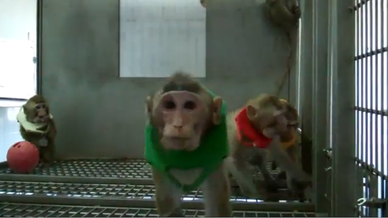 One research monkey in her cage