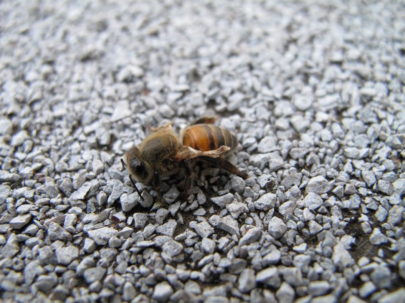 Bee Afflicted With Deformed Wing Virus