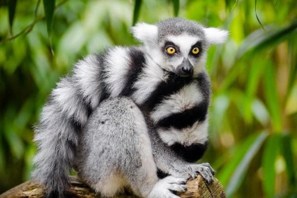 Here S Why Having A Pet Lemur Is Never A Good Idea Tech Times