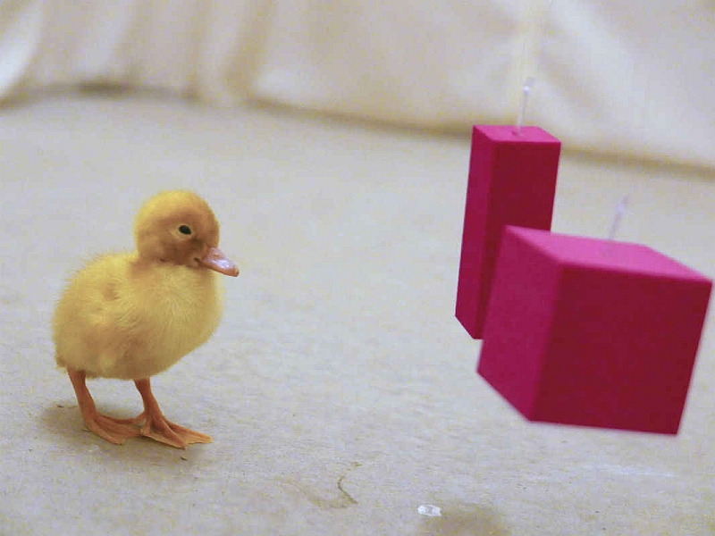 Duckling Cubes