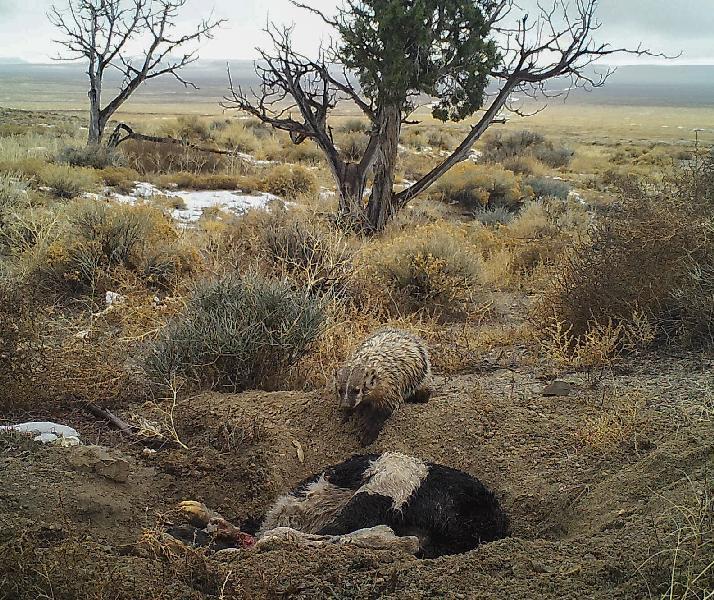 Badger burying a cow carcass
