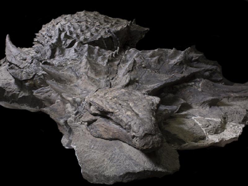 Fossilized remains of the nodosaur