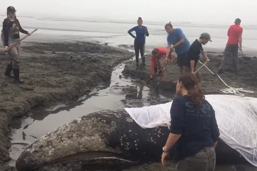 Gray Whale Stranded On The Beach For Three Days Successfully Rescued