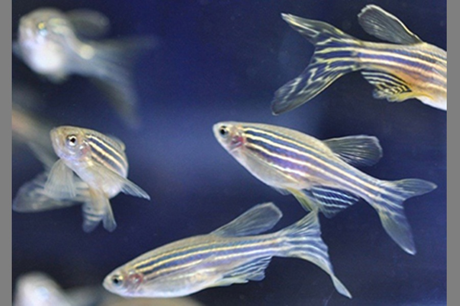 Zebrafish Willingly Work To Get Opioid Doses: Study
