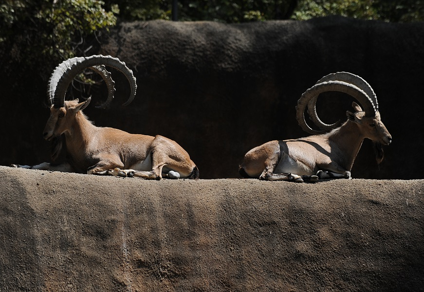 A Pair Of Nubian Ibex