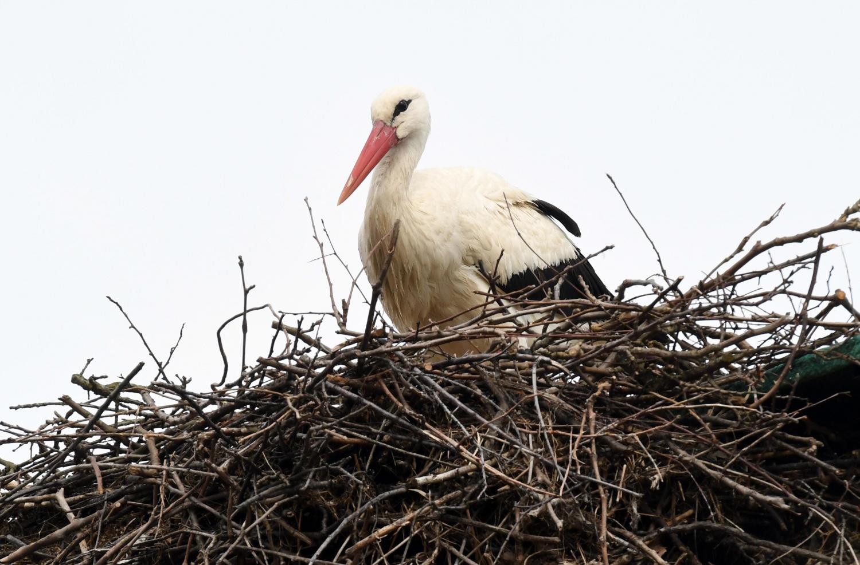 White Stork Named Klepetan
