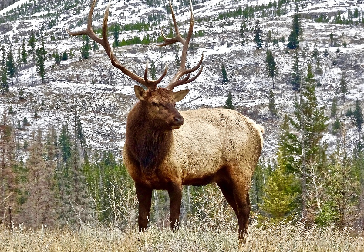 Male Elk With Antlers