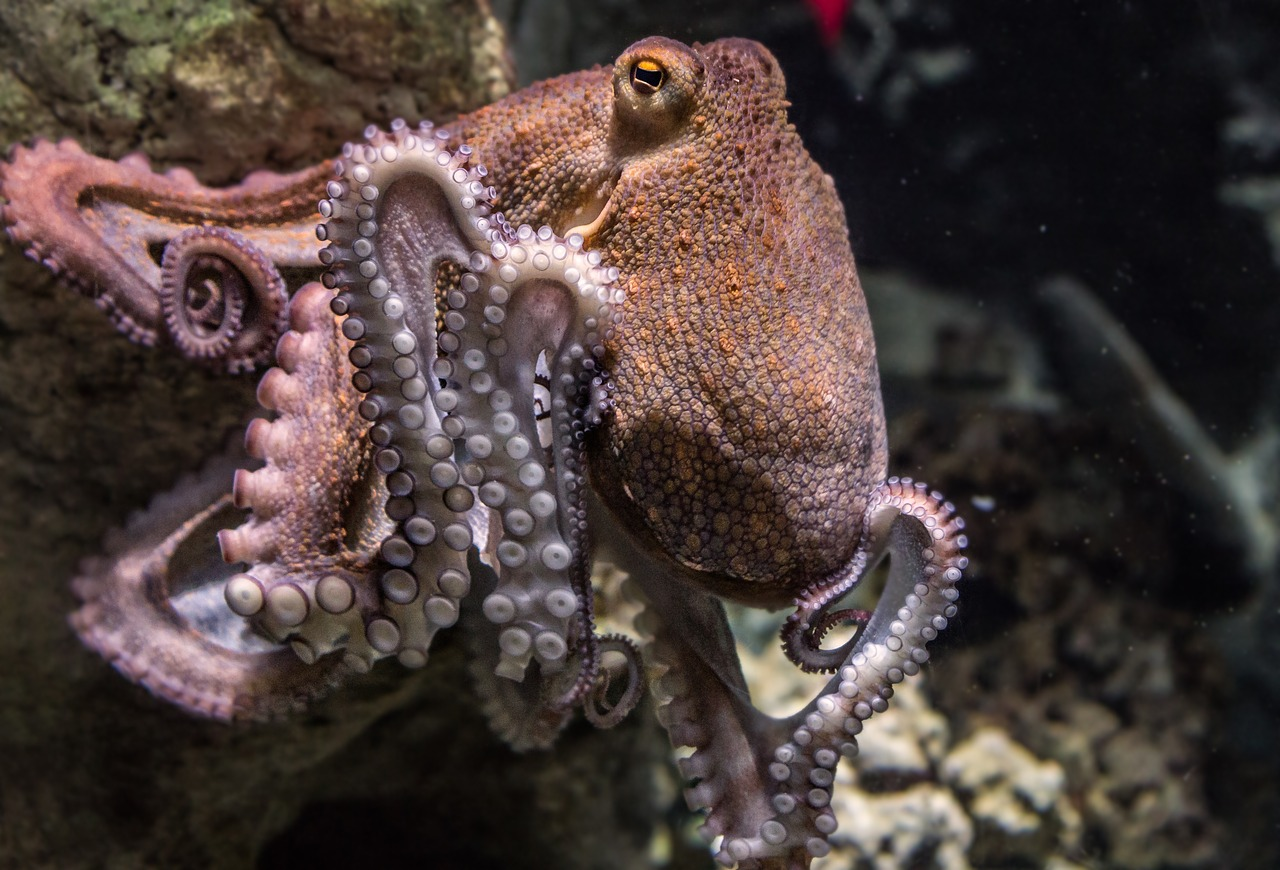 Octopuses On Ecstasy