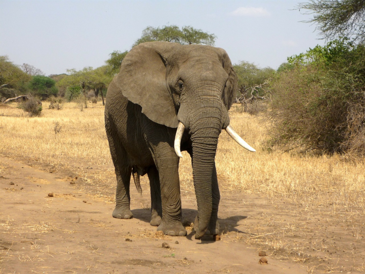 African Megaherbivores