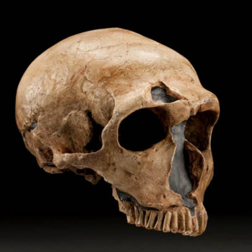 Most Complete Neanderthal Skull
