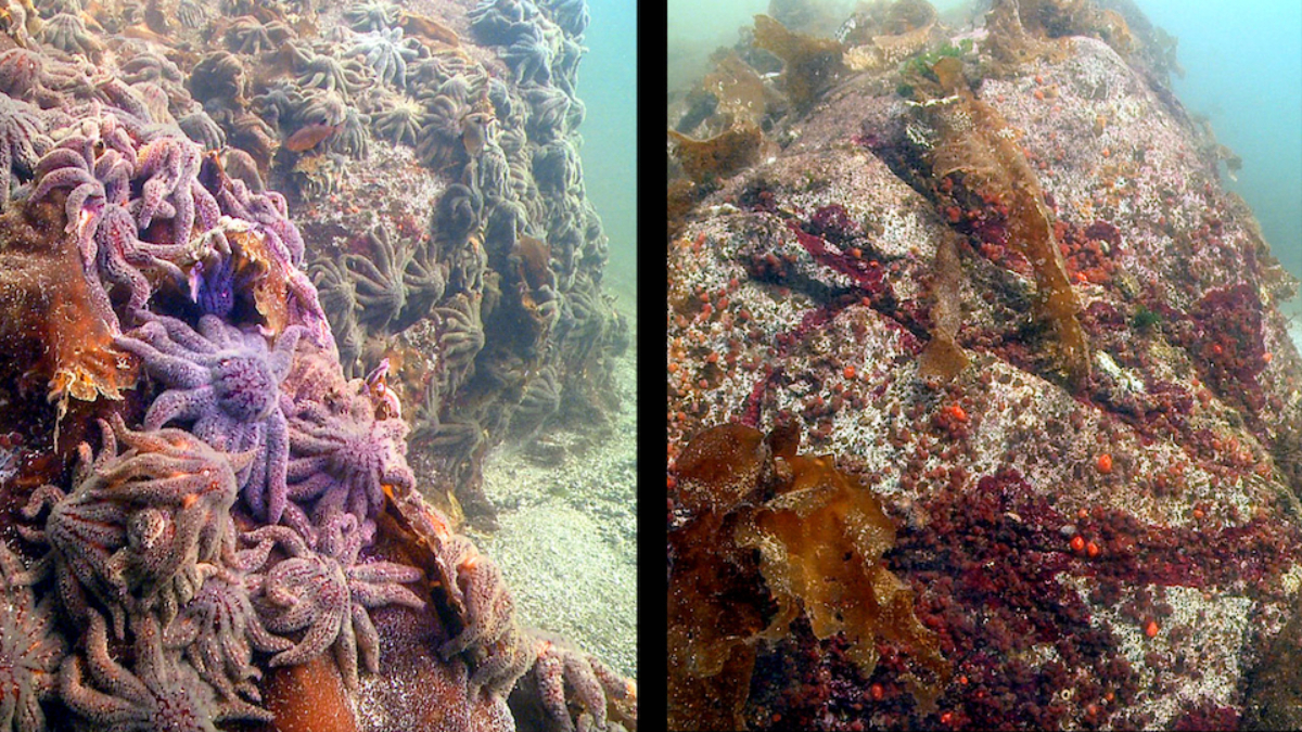 Sunflower Sea Stars