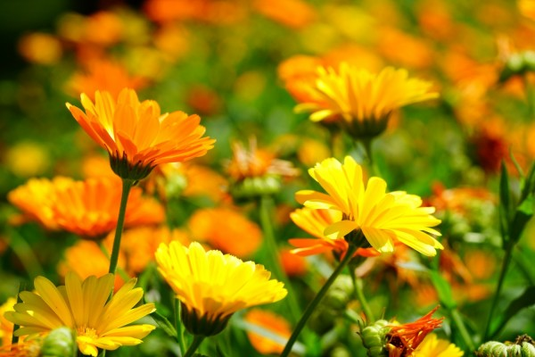 Marigold S Natural Weapon Inspires Safer And Cheaper Alternative