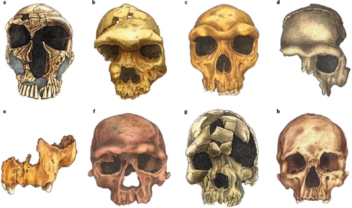 Facial skull evolution
