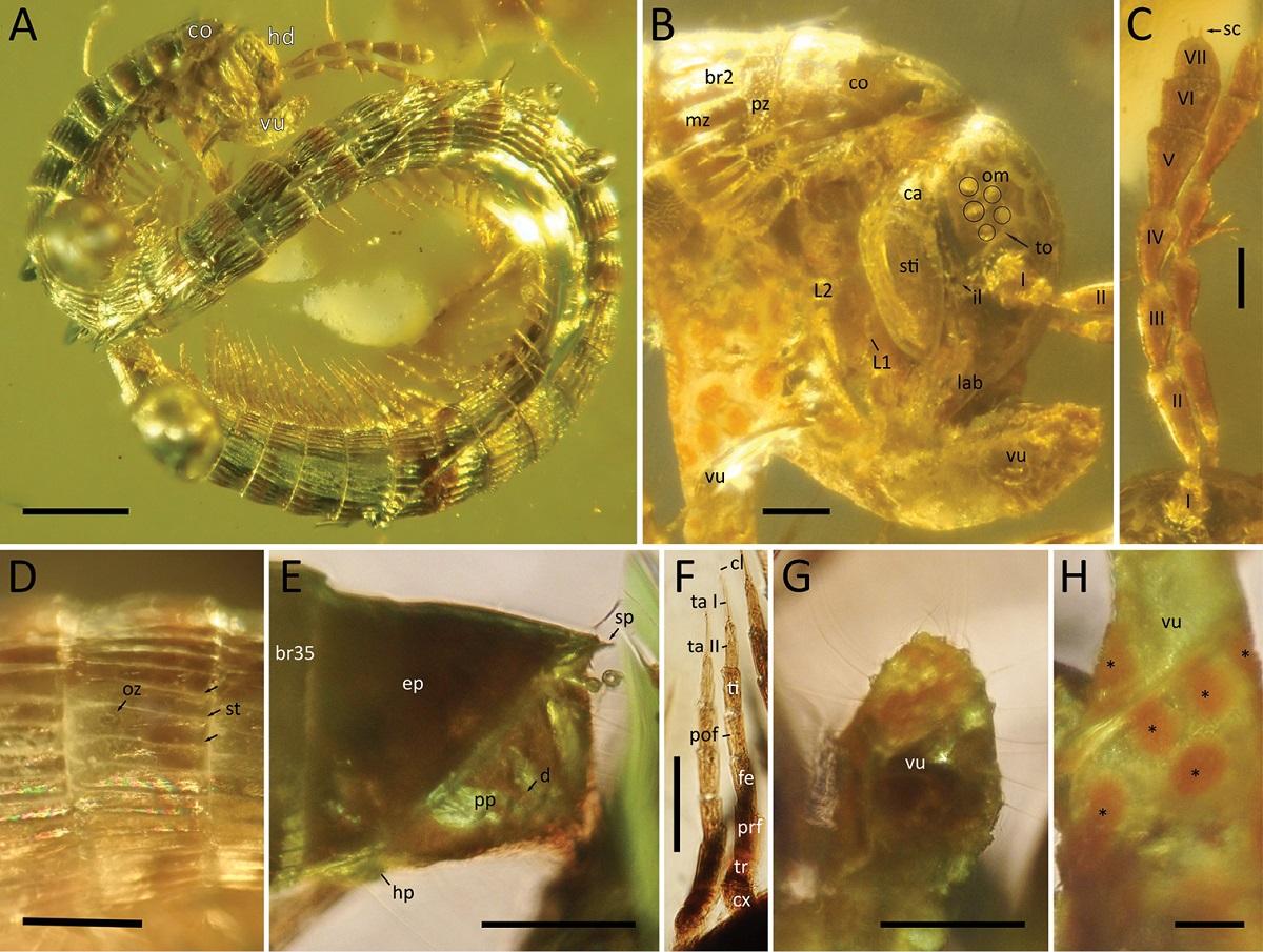 99-Million-Year-Old Millipede