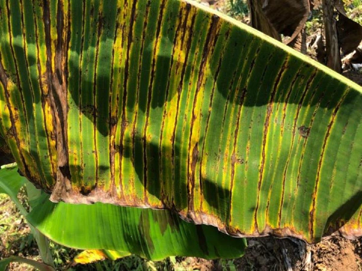 Banana disease black sigatoka