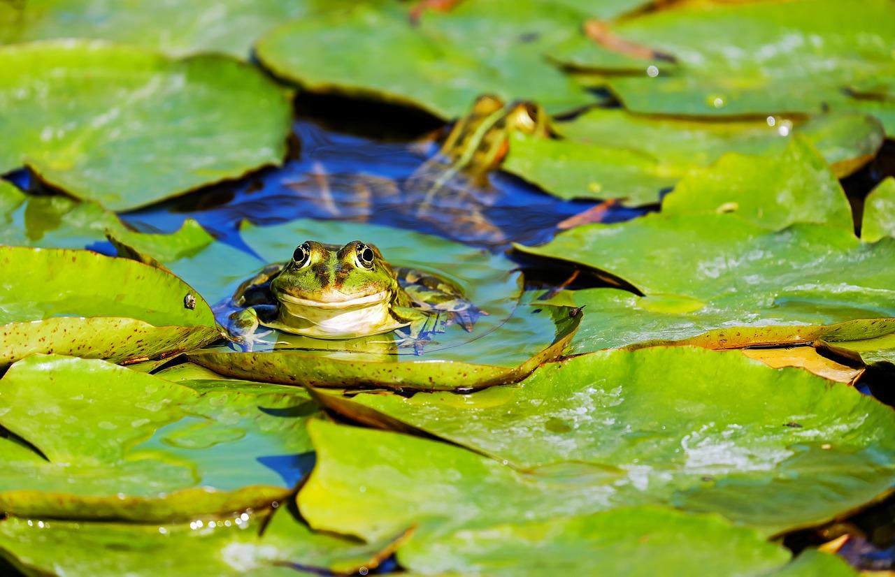 UK Frogs
