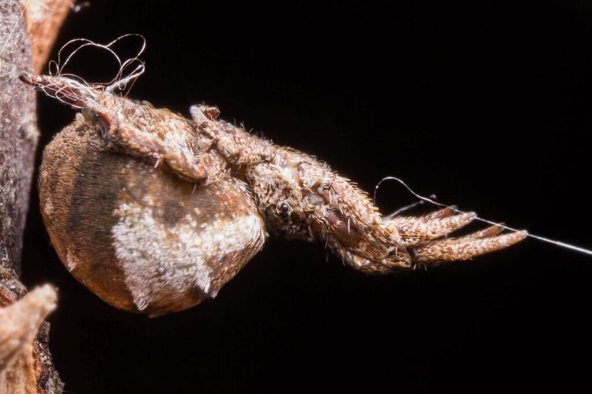 Triangle Weaver Spider