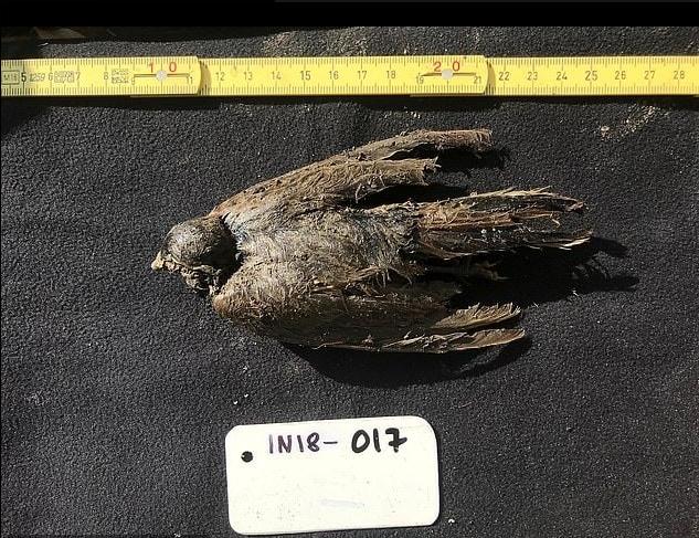 Ancient Horned Lark
