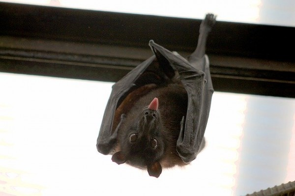 New Coronavirus Outbreaks Can Potentially Surfaced From Infected Animals; New Evolution of Coronavirus Traced From Bats