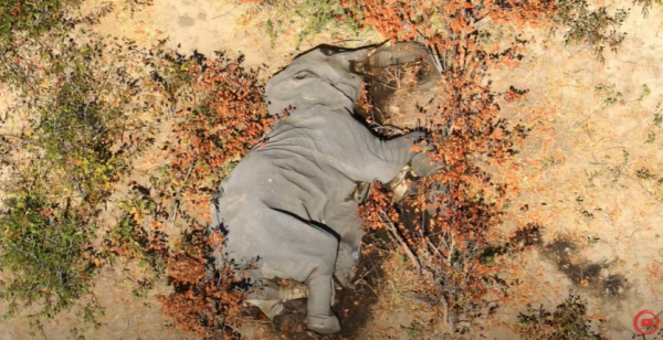 Hundreds of elephants found dead in Botswana's delta
