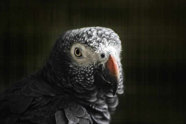 A Grey Parrot Might be Smarter Than 21 Harvard Students: The Parrot Won in a Classic Memory Game
