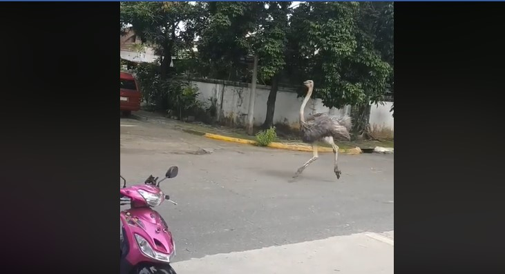 [VIRAL] Watch How This Giant Ostrich Walks Towards a Running Car While Being Chased Down by a Dog
