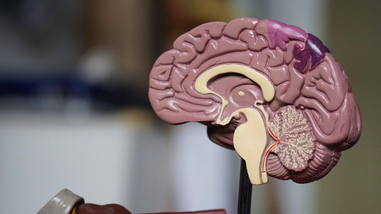 brain eats itself sleep deprivation