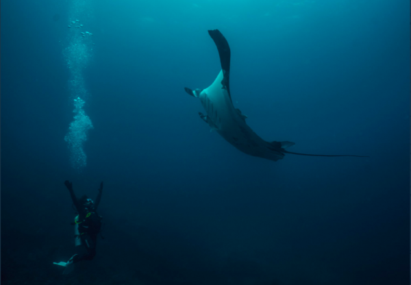 New Study Found That Manta Rays Make Long-Term Use of Marine-Protected Areas