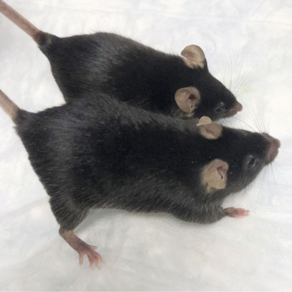 Mutant Mice Become More Muscular After Long Stay in Space; Could Muscle and Bone Loss be Prevented?