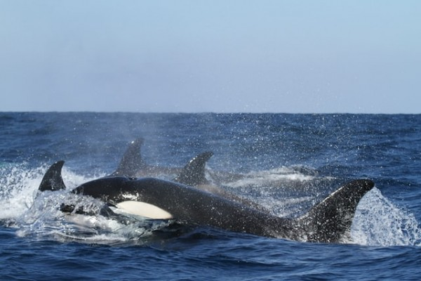 Killer Whales Surprise Researchers With Their Unusual Behavior After Mysteriously Attacking Boats