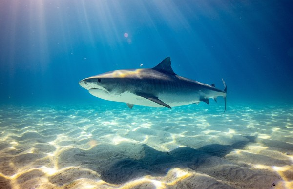 Experts Warn About COVID-19 Vaccines May Require Killing of Around 500,000 Sharks
