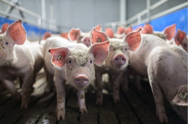 New Coronavirus Found! SADS-CoV-2 in Pigs May Spread to Humans, Says Scientists