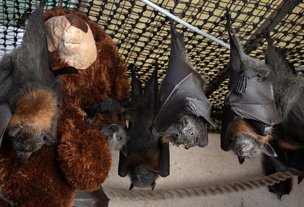 Bats Are Isolating Themselves When Sick? Scientists Claim the Isolation is Voluntary or Forced