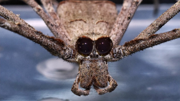 Scientists Claim That Ogre-Faced Spiders Use Their Legs to Hear? They Insert Nanotech in the Arachnid's Brain