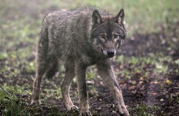 A Deadly Brain Disease Could Soon Infect Humans; Scientists Claim That Wolves Could Give Protection