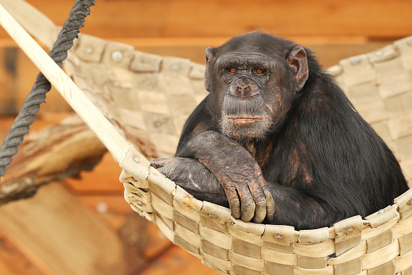 Scientists Insert Human Genes In Monkey' Brains to Make Them Larger and Have More Wrinkles
