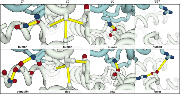 3-D Protein Model suggests why some animals and immune to COVID-19