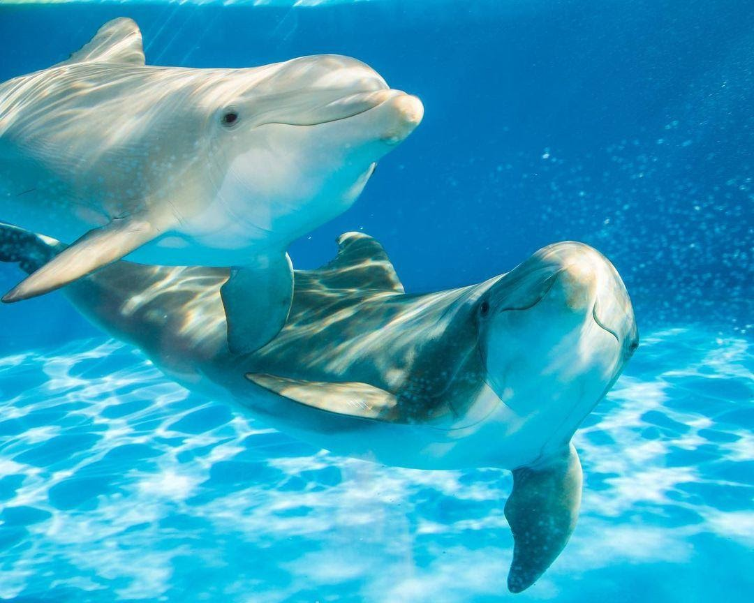 SeaWorld, Pacific Marine Mammal Center, and University of Florida Collaborate on Bottlenose Dolphin Research