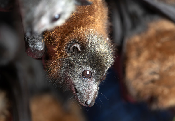 COVID-19 Could Also Endanger Bats: Here's How Likely Humans to Transmit the Virus to Them