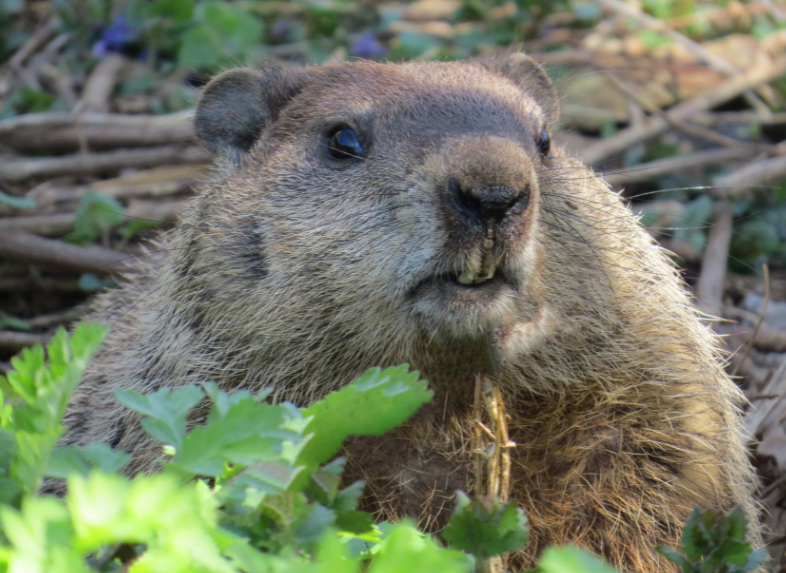 'Furry Animals' Cause Internet Outage: Canadians Blame Beavers for Chewing Fiber Cables