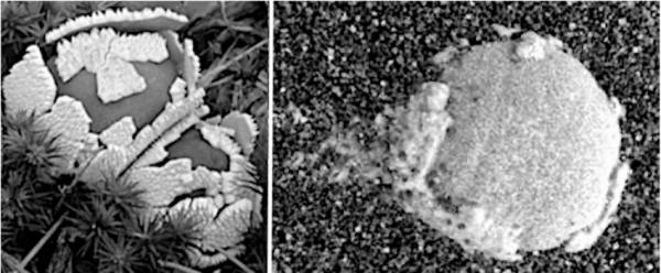 Life on Mars: NASA Curiosity rover photos with Alleged 'Mushroom' Fungus Growth