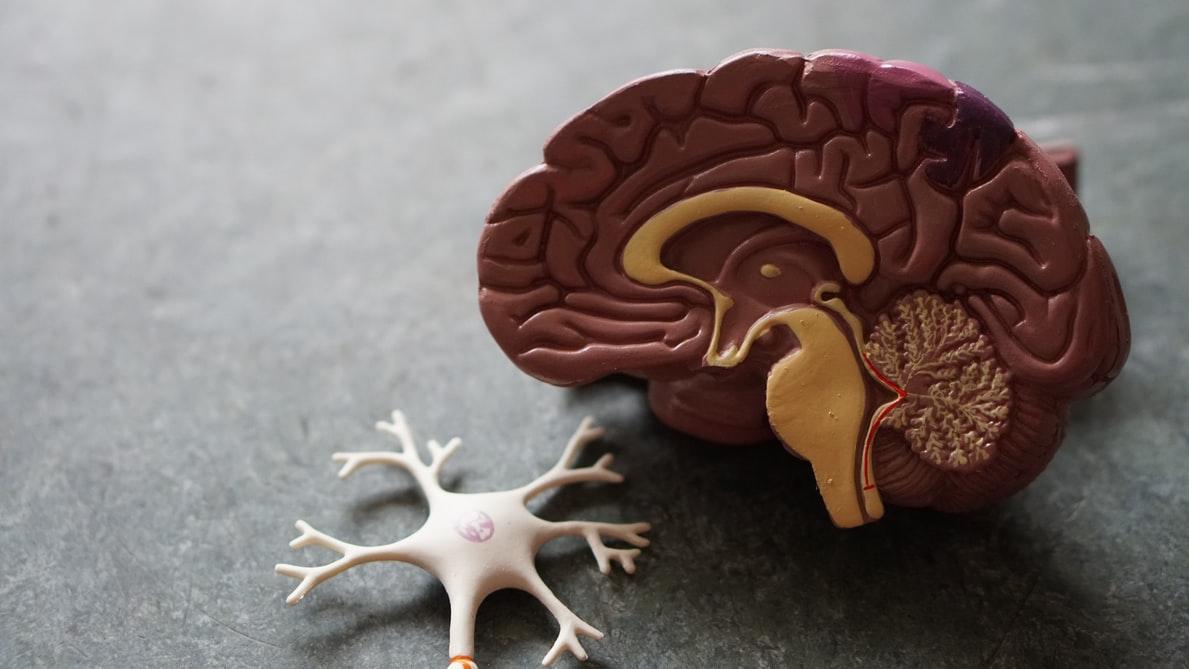 Human Brain / Unsplash