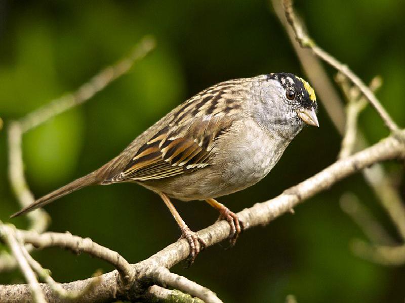 goldern-crowned sparrow