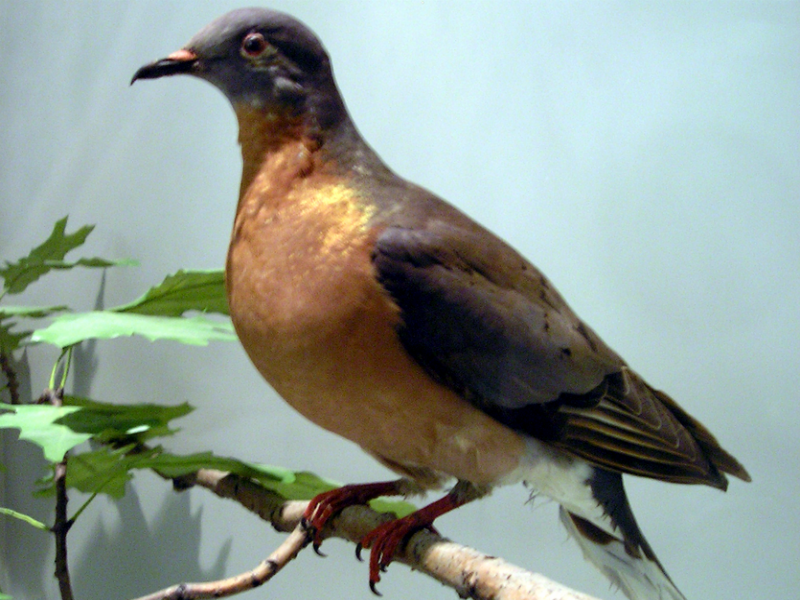 Taxidermied Passenger Pigeon