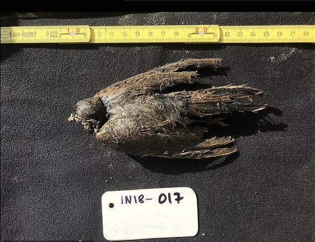 46,000-year-old Frozen Horned Lark Bird Found in Siberia Provides Clues to How Worse the Climate Change Has Be - Tech Times